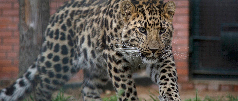 Far Eastern Leopard walking in front of a brick building